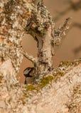 隐藏的极大的被察觉的啄木鸟 免版税库存图片