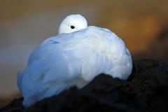 隐藏的纵向 在绿草的白色鸟 在草的鹅 野生白色山地鹅, Chloephaga picta,在自然习性 库存图片