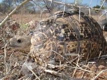 隐藏的草龟 库存照片