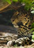 隐藏的豹子 免版税图库摄影