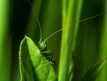 隐藏的katydid 免版税库存照片