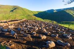 隔夜绵羊在kraal 免版税库存图片