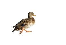 隔离野鸭走 免版税图库摄影