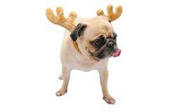 隔绝小狗哈巴狗黏附圣诞节和新年党的狗舌头的特写镜头面孔用完的驯鹿鹿角与剪报 库存图片