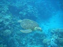 障碍极大的绿色礁石游泳乌龟 免版税库存图片