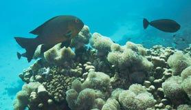 障碍潜水的极大的礁石 免版税库存照片