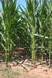 隧道的看法在cornstalks之间玉米,玉蜀黍属5月平行的行的  免版税库存图片
