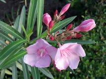 难以置信地也是美好的桃红色花绿色 图库摄影