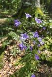难以置信地美丽的紫色花-响铃在森林里Kozya斯特纳小屋的 山在中央巴尔干 免版税库存照片