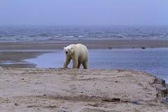难以置信的北极照片,野生生物,北极熊 库存照片