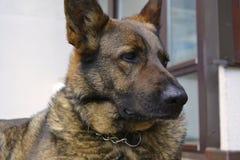 难以置信的情感德国牧羊犬 免版税库存图片