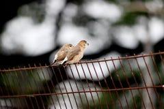 麻雀传球手hispaniolensis,男性在格栅栖息 库存图片