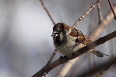 麻雀吃在分支的向日葵种子 库存照片