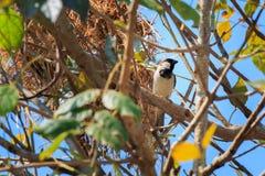 麻雀和巢在分支树有明亮的蓝天背景 免版税库存图片