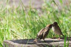 麻雀哺养的刚孵出的雏 库存照片
