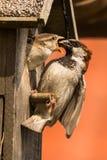 麻雀哺养的小鸡 免版税库存图片
