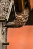 麻雀哺养的小鸡 免版税图库摄影