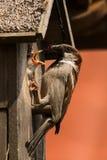 麻雀哺养的小鸡 免版税库存照片