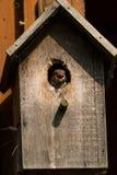 麻雀哺养的小鸡 库存照片