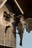 麻雀哺养的小鸡 库存图片