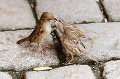 麻雀哺养的雏鸟 图库摄影