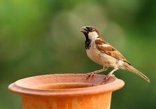 麻雀哺养 免版税库存图片