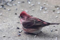 紫雀哺养 库存照片