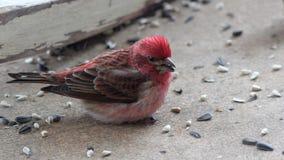 紫雀哺养 免版税图库摄影