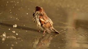 麻雀在水坑沐浴 股票视频