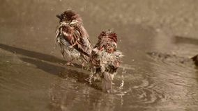 麻雀在水坑沐浴 股票录像