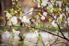 麻雀坐开花的树,麻雀在春天加尔省 免版税库存照片