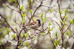 麻雀坐开花的树,麻雀在春天加尔省 图库摄影