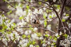 麻雀坐开花的树,麻雀在春天加尔省 库存照片