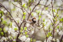 麻雀坐开花的树,麻雀在春天加尔省 库存图片