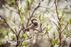 麻雀坐开花的树,麻雀在春天加尔省 免版税库存图片