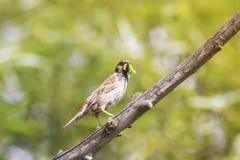 麻雀捉住了一条绿色毛虫坐树 免版税库存照片