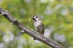 麻雀捉住了一条绿色毛虫坐树 图库摄影