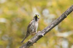 麻雀捉住了一条绿色毛虫坐树 库存图片