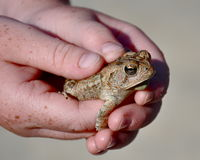 雀斑青蛙 图库摄影