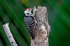 雀斑breasted啄木鸟 库存照片