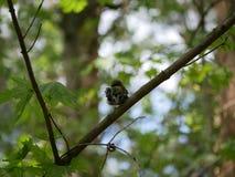 雀科坐一个树枝在森林里并且掠过它的羽毛 r 免版税库存照片