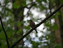 雀科坐一个树枝在森林里并且掠过它的羽毛 r 免版税库存图片