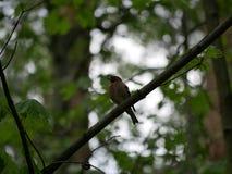 雀科坐一个树枝在森林里并且掠过它的羽毛 r 图库摄影