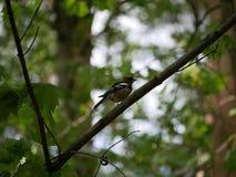 雀科坐一个树枝在森林里并且掠过它的羽毛 r 库存照片