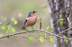 雀科的鸟画象在年轻人包围的森林里 免版税库存图片