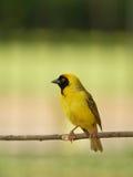 雀科黄色 库存图片