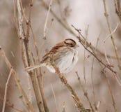 麻雀红喉刺莺的白色 库存照片