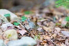 麻雀红喉刺莺的白色 免版税库存图片