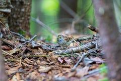 麻雀红喉刺莺的白色 免版税图库摄影