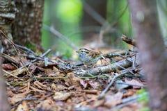 麻雀红喉刺莺的白色 免版税库存照片
